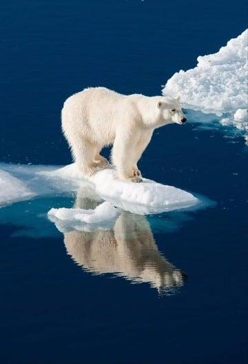 especies de animales en peligro de extincion oso polar