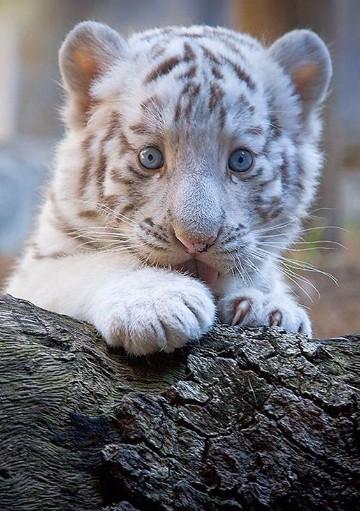 imagenes de tigres de bengala blanco bebes