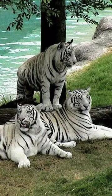 imagenes de tigres de bengala blanco grande