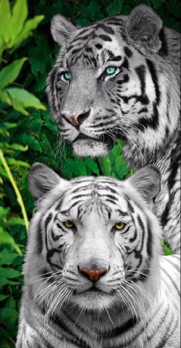 imagenes de tigres de bengala blanco para descargar