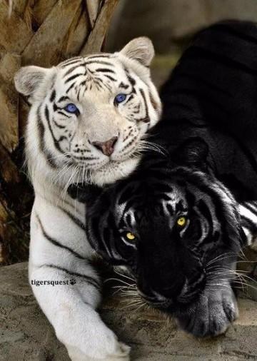 imagenes de tigres de bengala blanco para dibujar