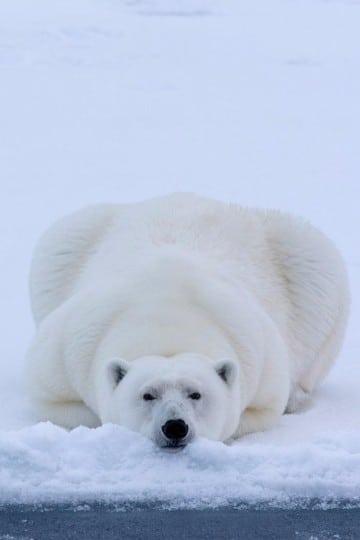 osos polares en peligro de extincion cuantos quedan