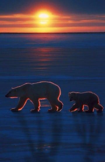 osos polares en peligro de extincion habitat