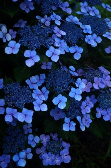 fotos de flores azules silvestres