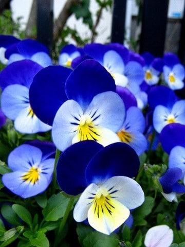 fotos de flores azules y blancas