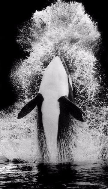 imagenes de ballenas orcas animadas