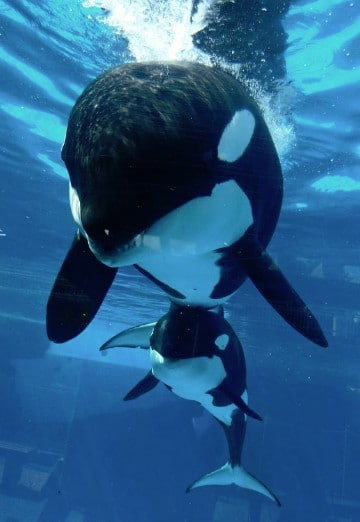 imagenes de ballenas orcas bebes
