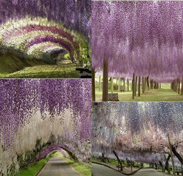 imagenes de campos de flores en holanda