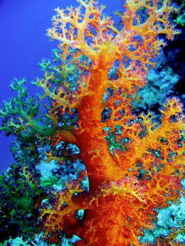imagenes de corales marinos gratis