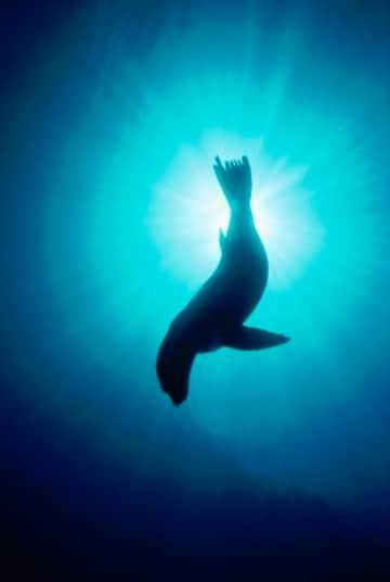 imagenes de lobos marinos animados
