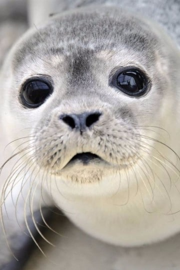 imagenes de lobos marinos bebes