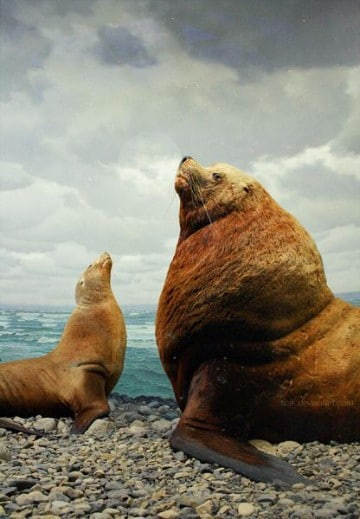 imagenes de lobos marinos gigantes