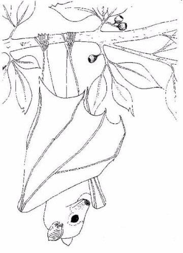 imagenes de murcielagos para dibujar reales