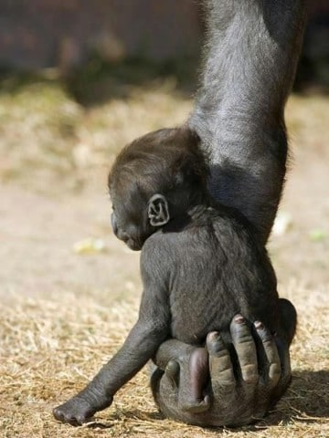 fotos de monos bebes changos