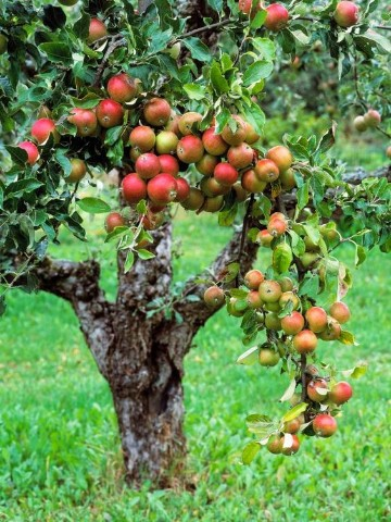 imagenes de arboles frutales hermosos
