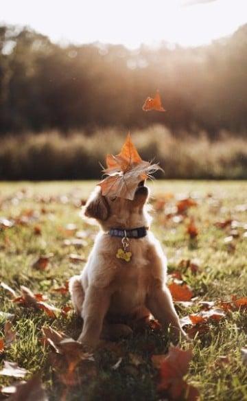 imagenes de cachorros labradores puros