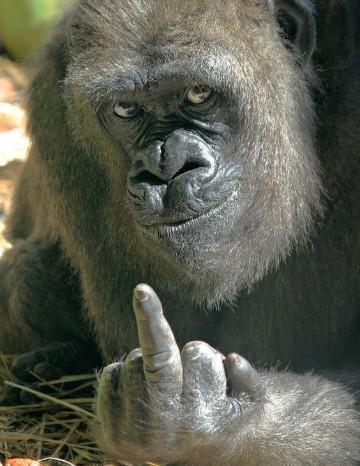 imagenes de gorilas chistosos fotos