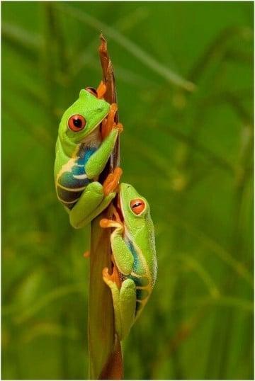 imagenes de ranas venenosas verdes