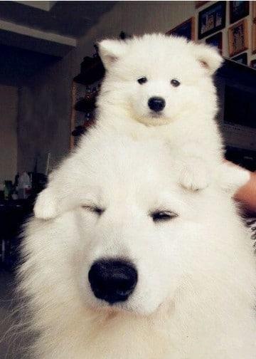 perros grandes peludos mediana