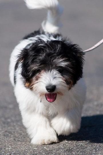 razas de perros pequeños peludos grandes