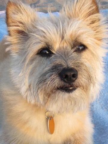 razas de perros pequeños peludos medianos