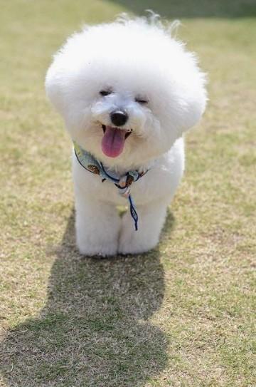 razas de perros pequeños peludos miniatura