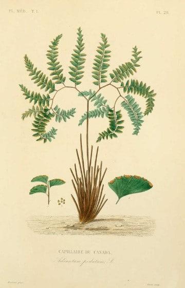 dibujos de plantas medicinales nombres