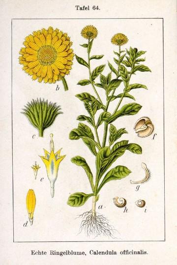dibujos de plantas medicinales ornamentales