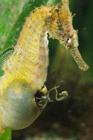 imagenes de caballitos de mar reales