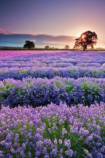 imagenes de campos con flores en holanda