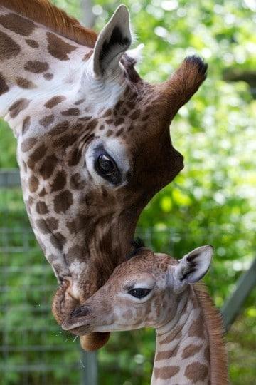 imagenes de jirafas bebes reales