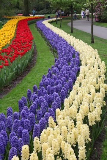 imagenes de tulipanes holandeses azules