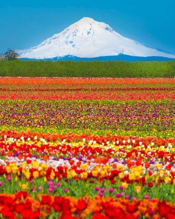 imagenes de tulipanes holandeses fondo de pantalla