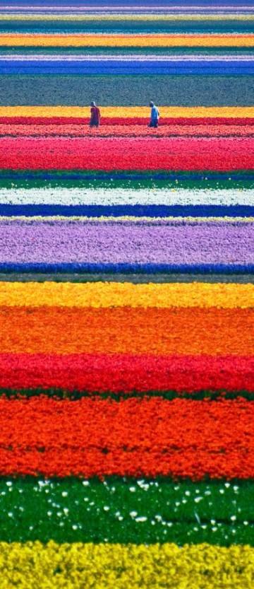 imagenes de tulipanes holandeses para colorear
