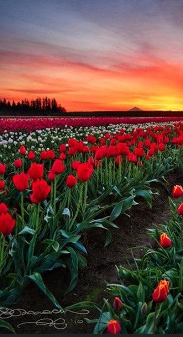 imagenes de tulipanes holandeses rojos