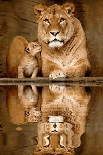 leonas con sus crias impresionantes