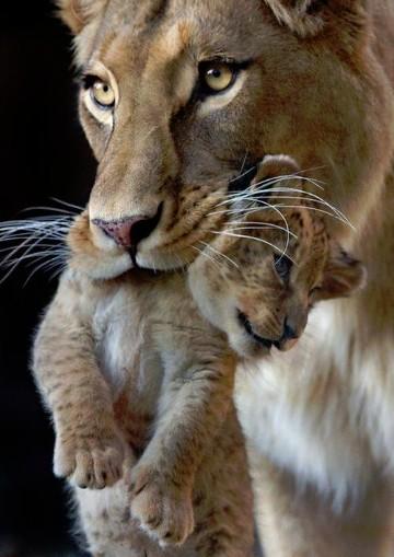 leonas con sus crias recien nacidas