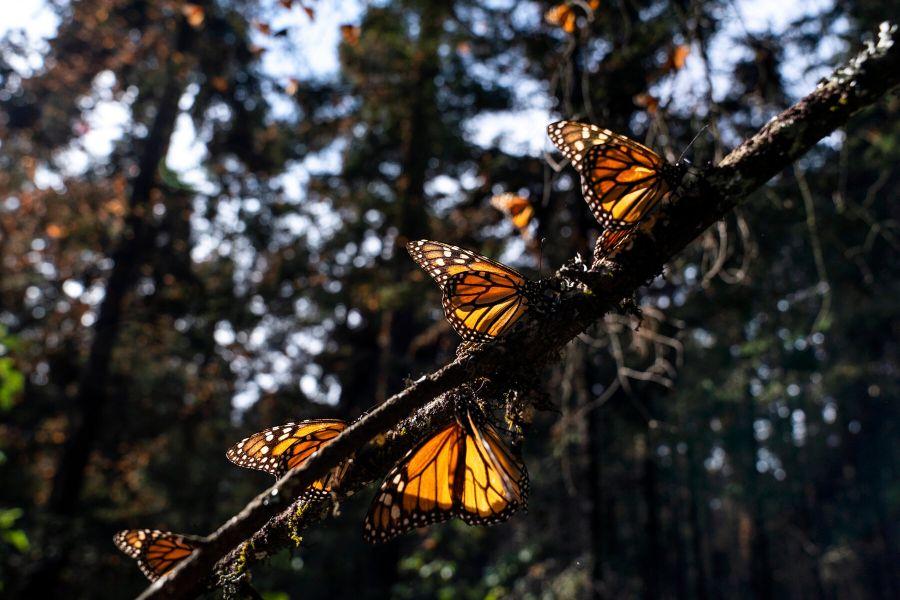 paisajes con mariposas reales monarcas
